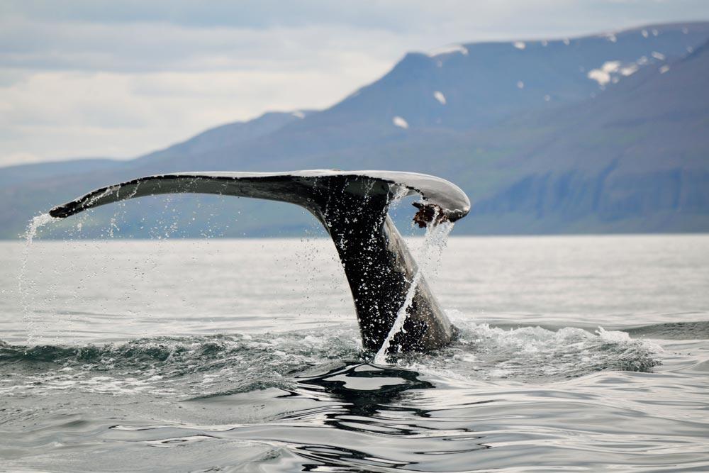 Baleines Islande Húsavík