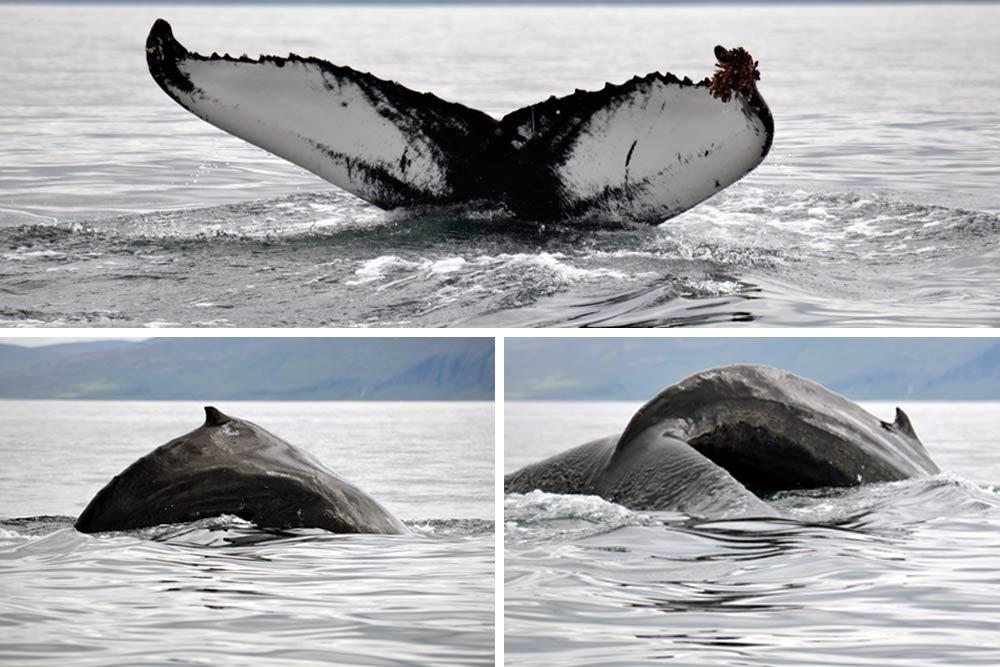 Observation baleines, Húsavík, Islande