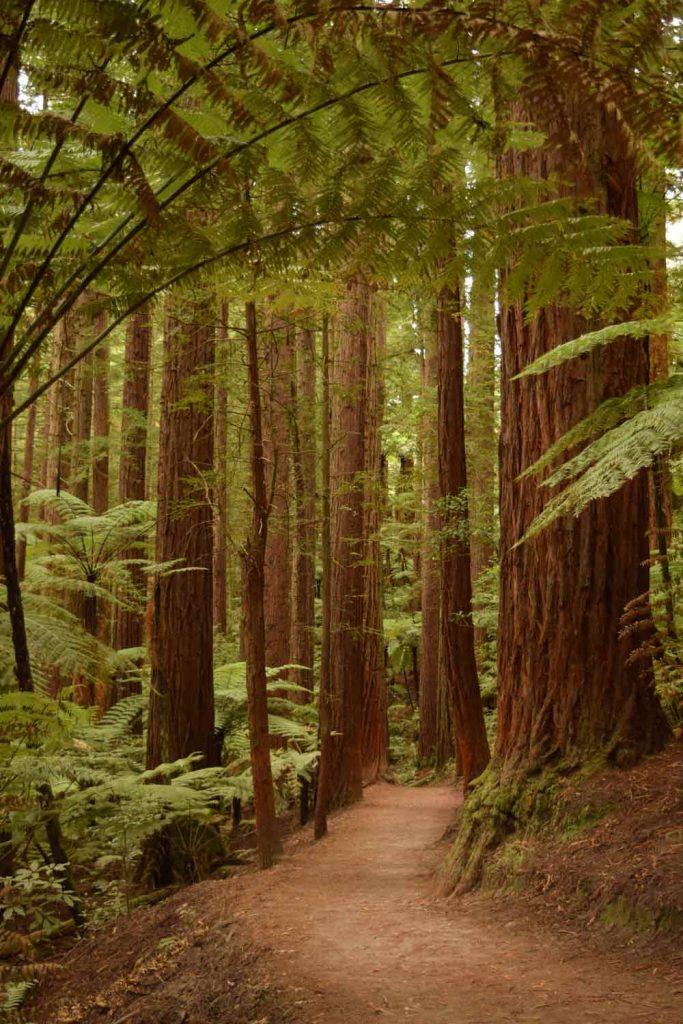 Forêts des Redwoods à Rotorua.