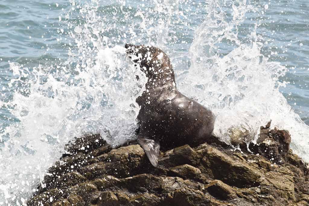 Cape Palliser otarie