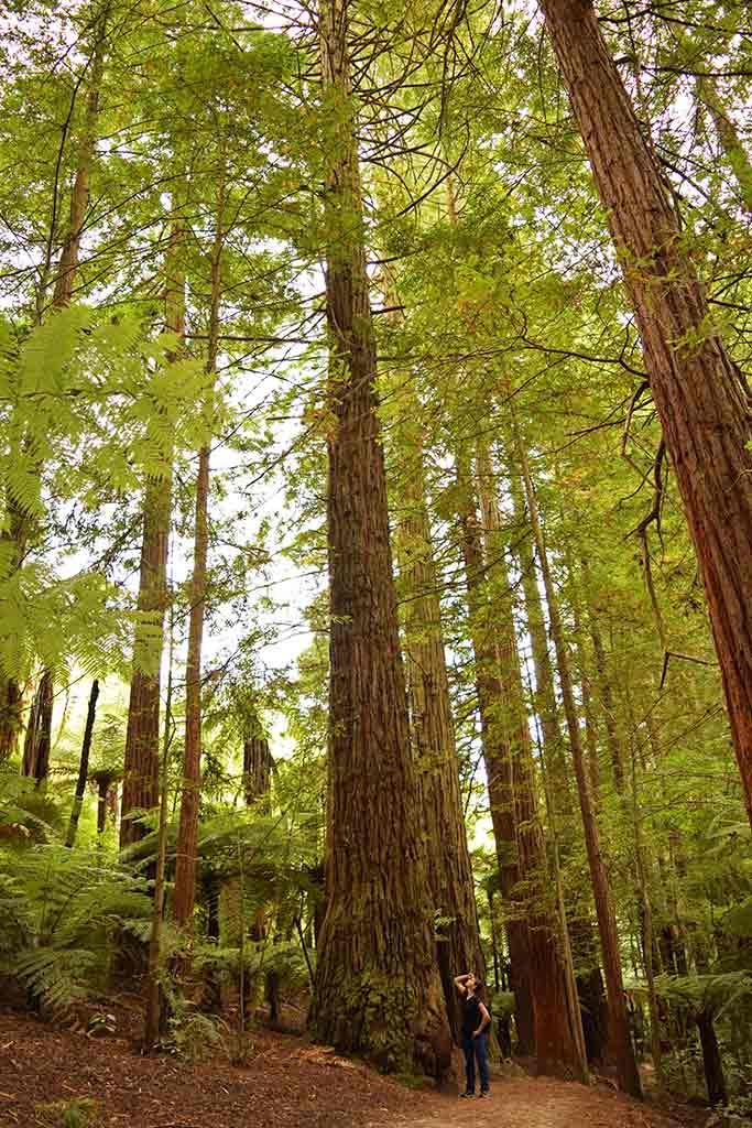 Redwoods Whakarewarewa