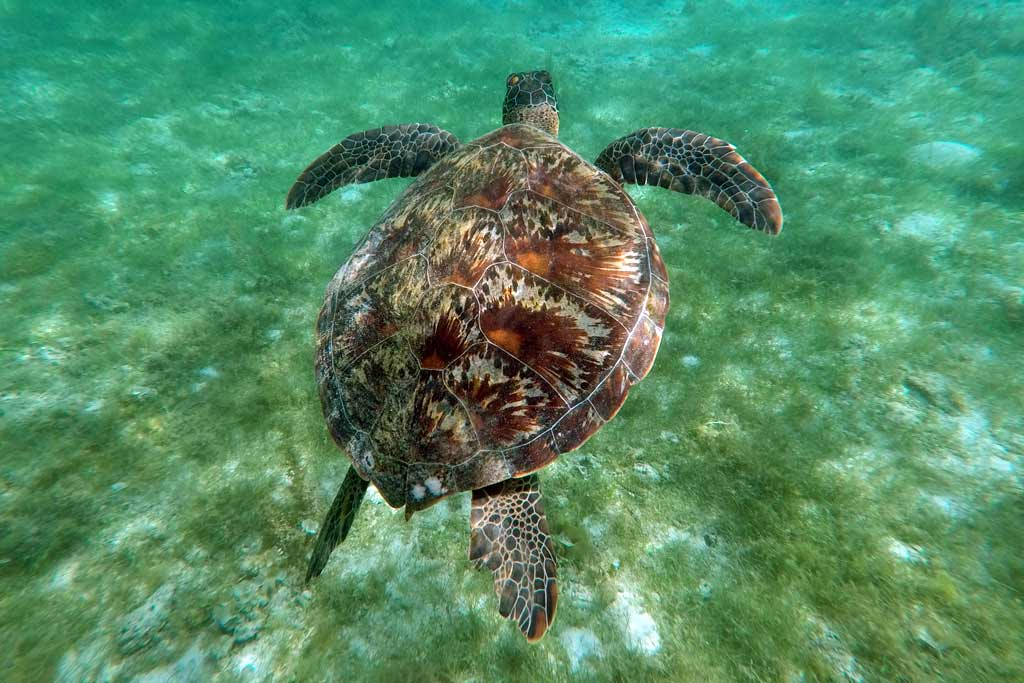 Moalboal tortue