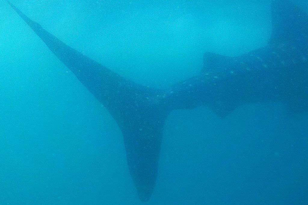 requins baleines donsol