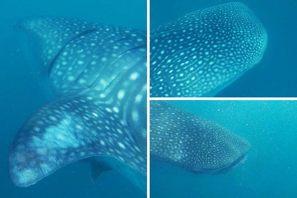 requin baleine philippines