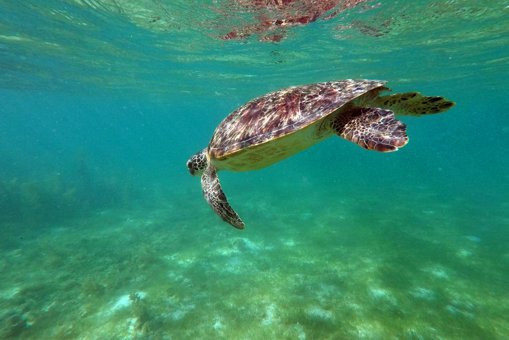 tortue moalboal