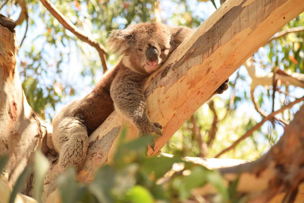 koalas kennett river