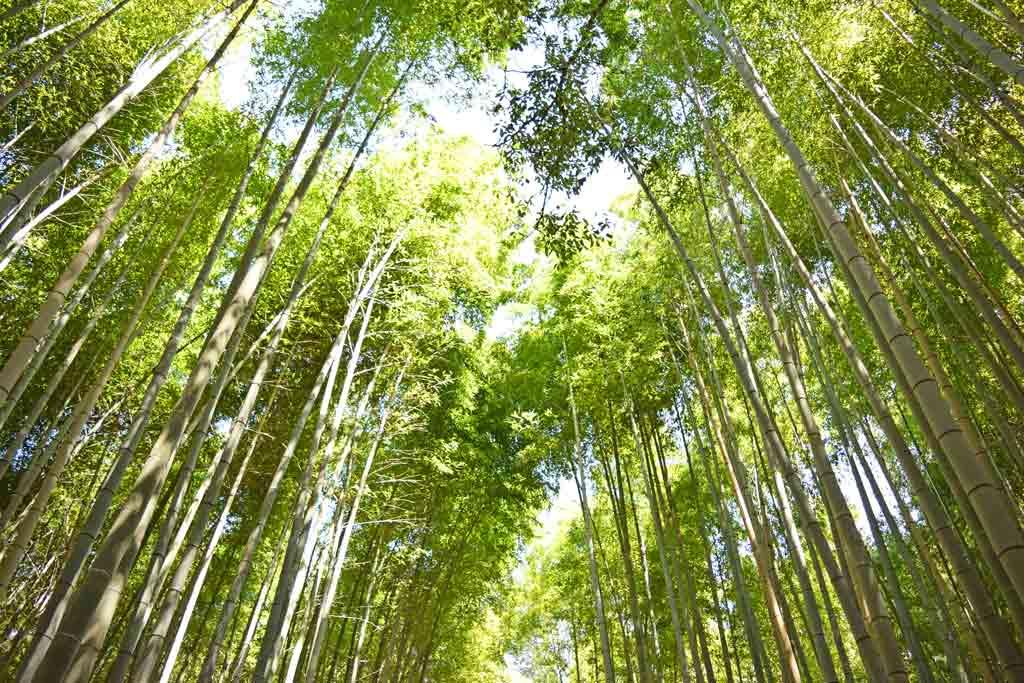 Arashiyama bambous kyoto