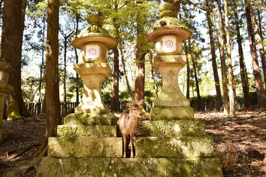 Cerf biche Nara