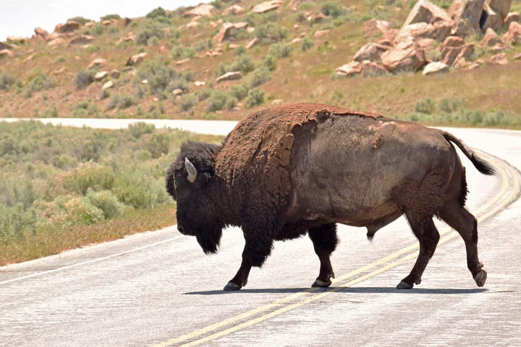 Bison Antelope Island USA