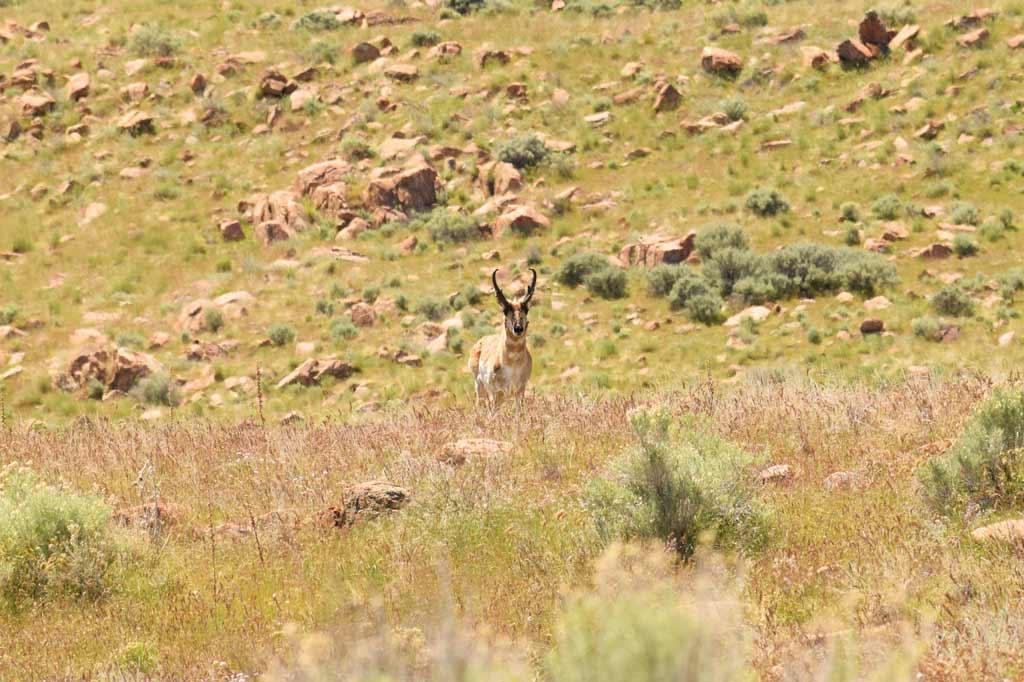 Pronghorn Antelope Island