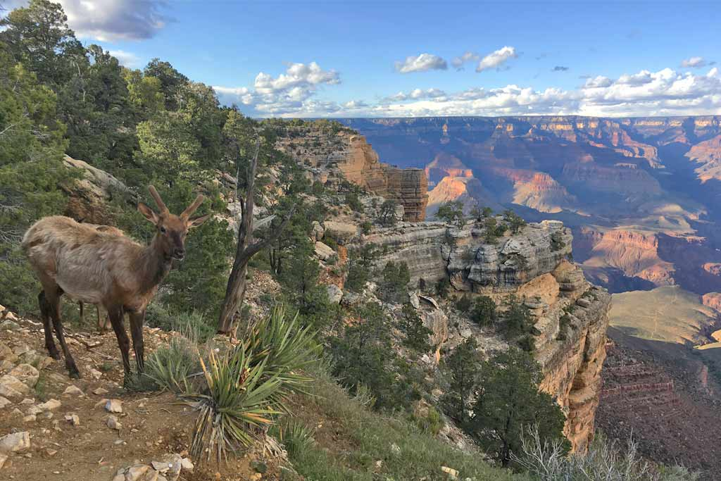 Cerf Grand Canyon