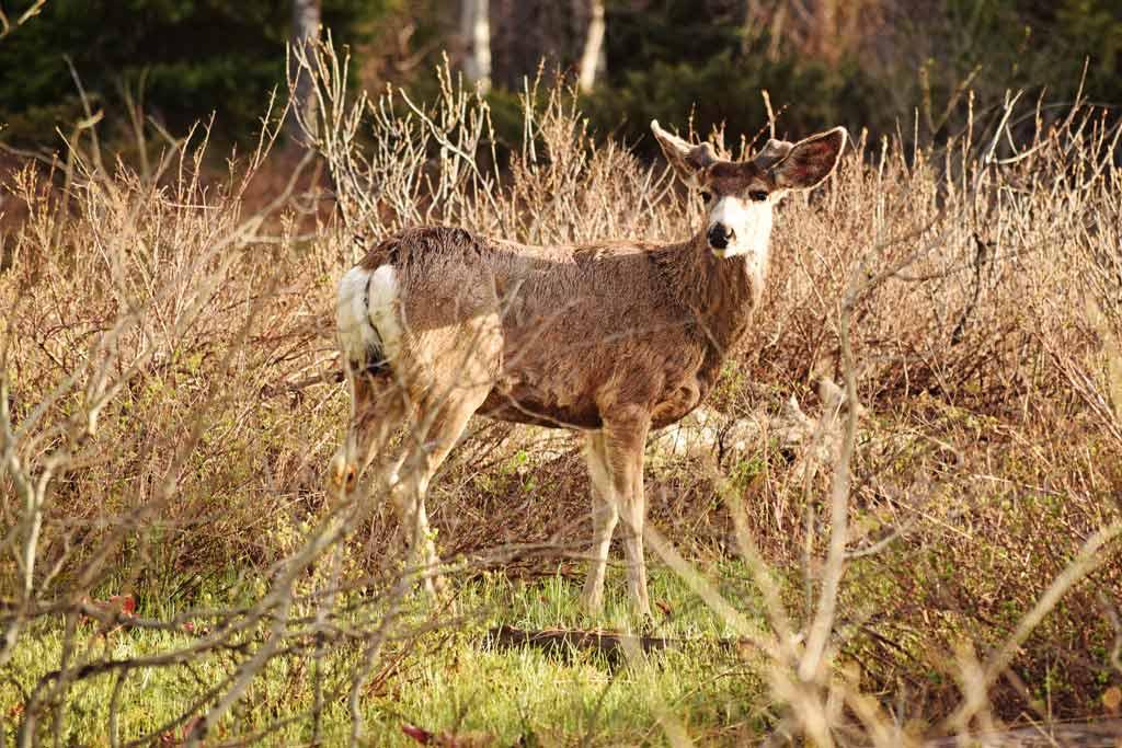 Cerf Parc National de Grand Téton