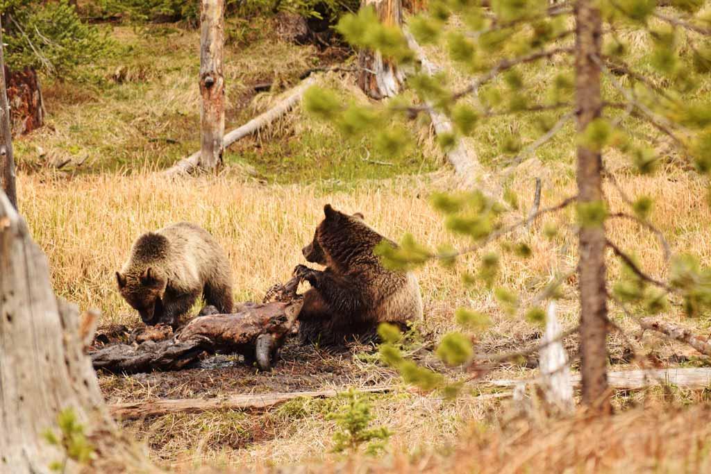 Grizzlis Yellowstone